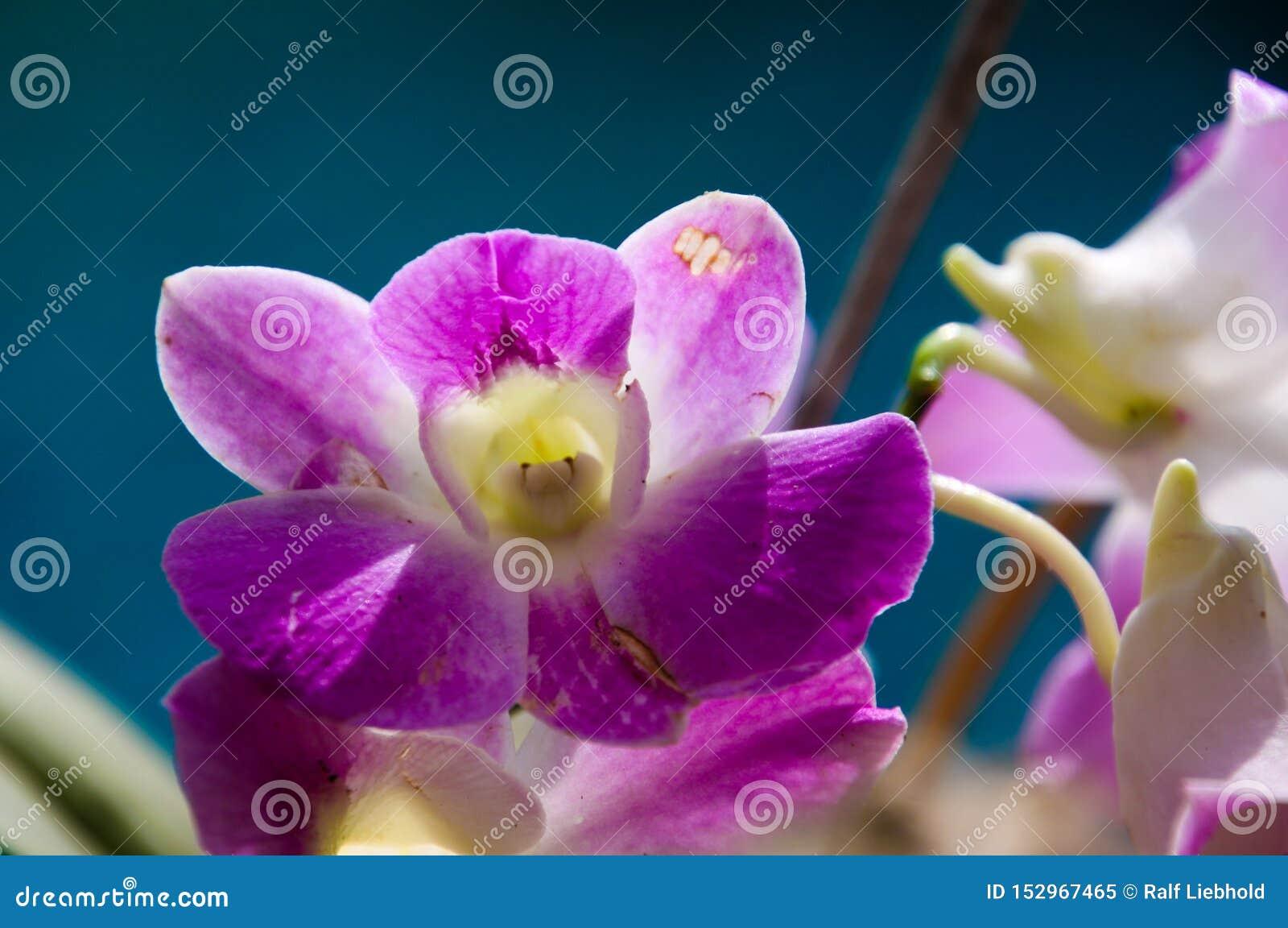 Ciérrese para arriba de la orquídea blanca y rosada del dendrobium, Chiang Mai, Tailandia