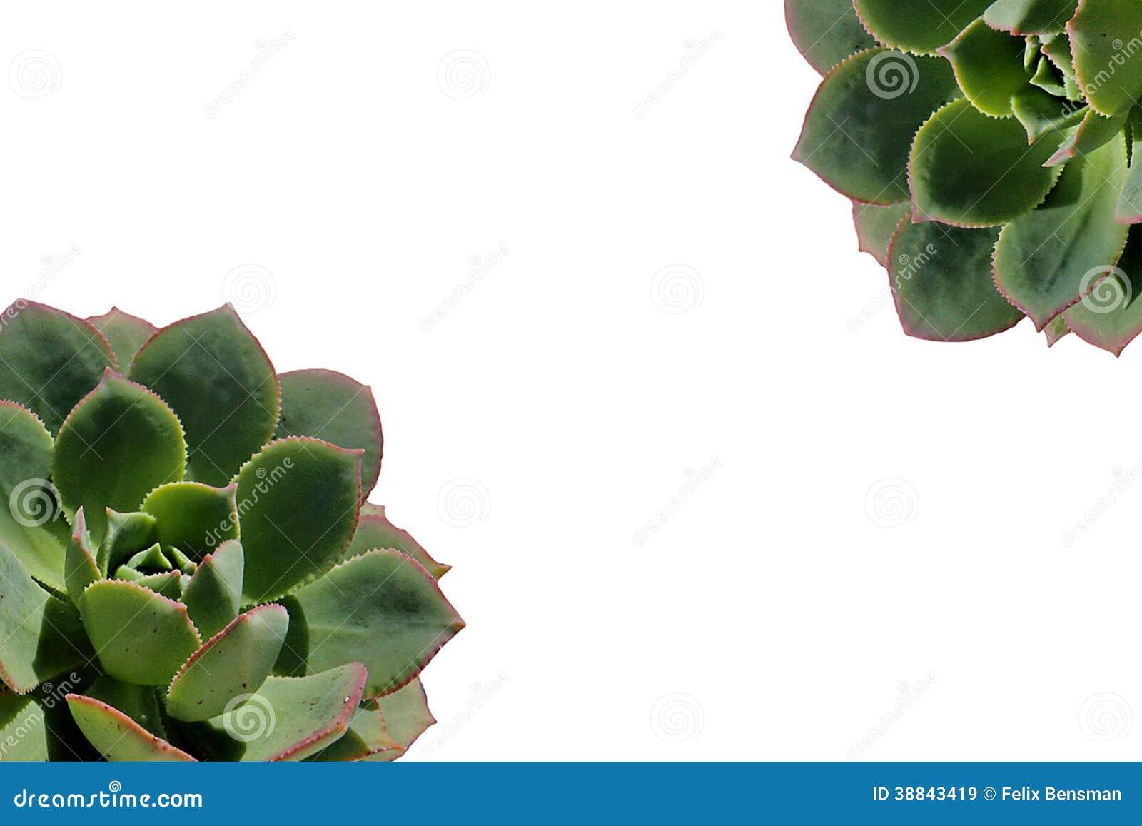 Ciérrese para arriba de la planta suculenta