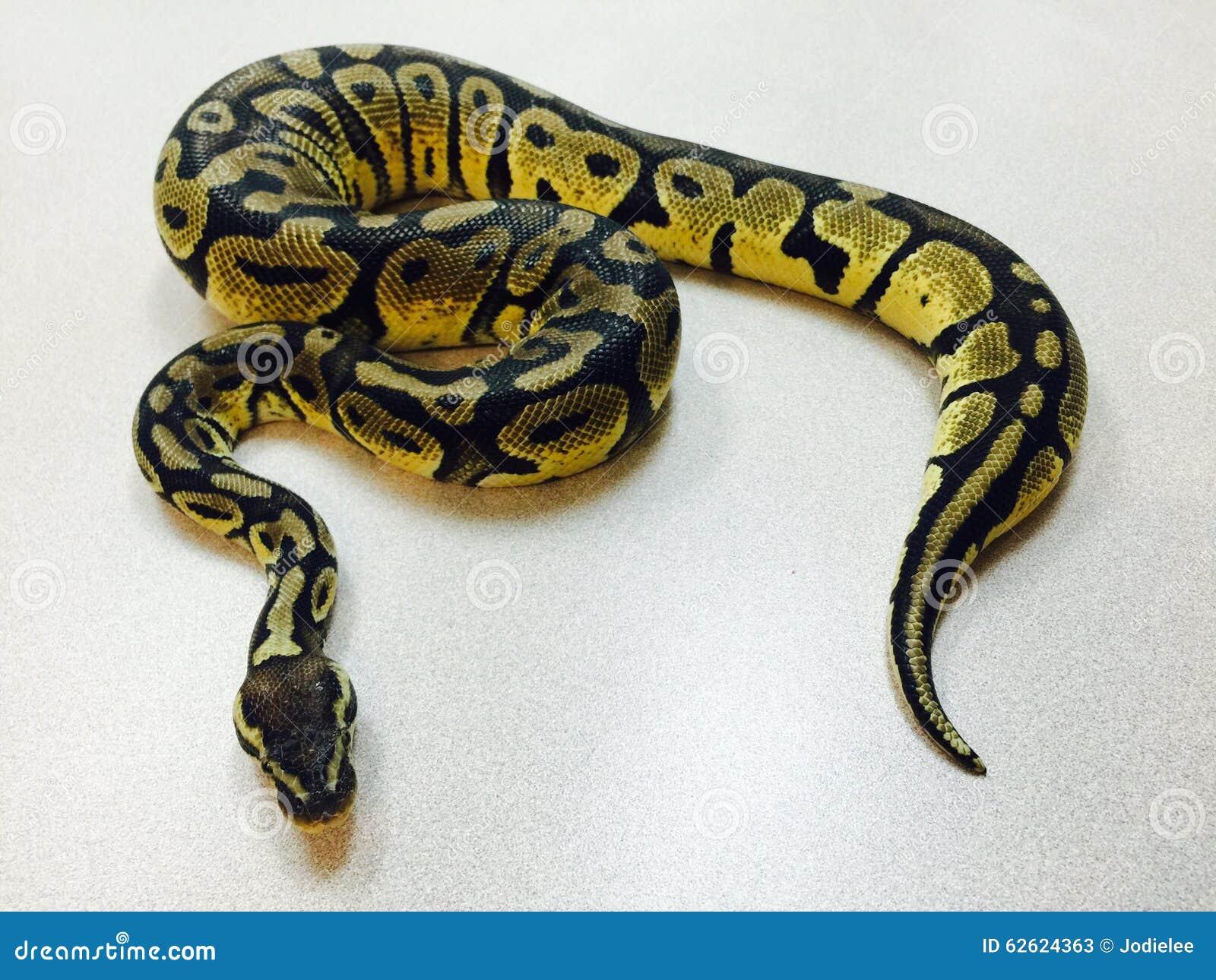 Ciérrese Para Arriba De La Serpiente En Colores Pastel Del Pitón De ...