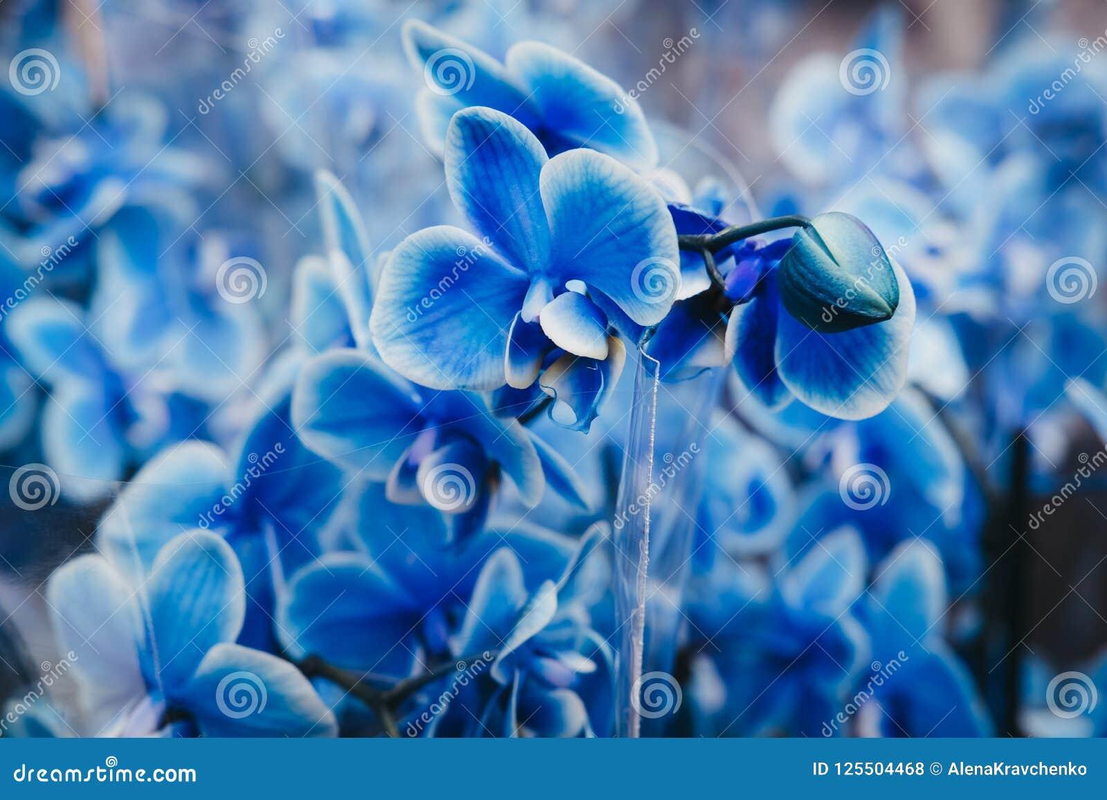 Cierrese Para Arriba De Las Flores Azules De Las Orquideas De Una