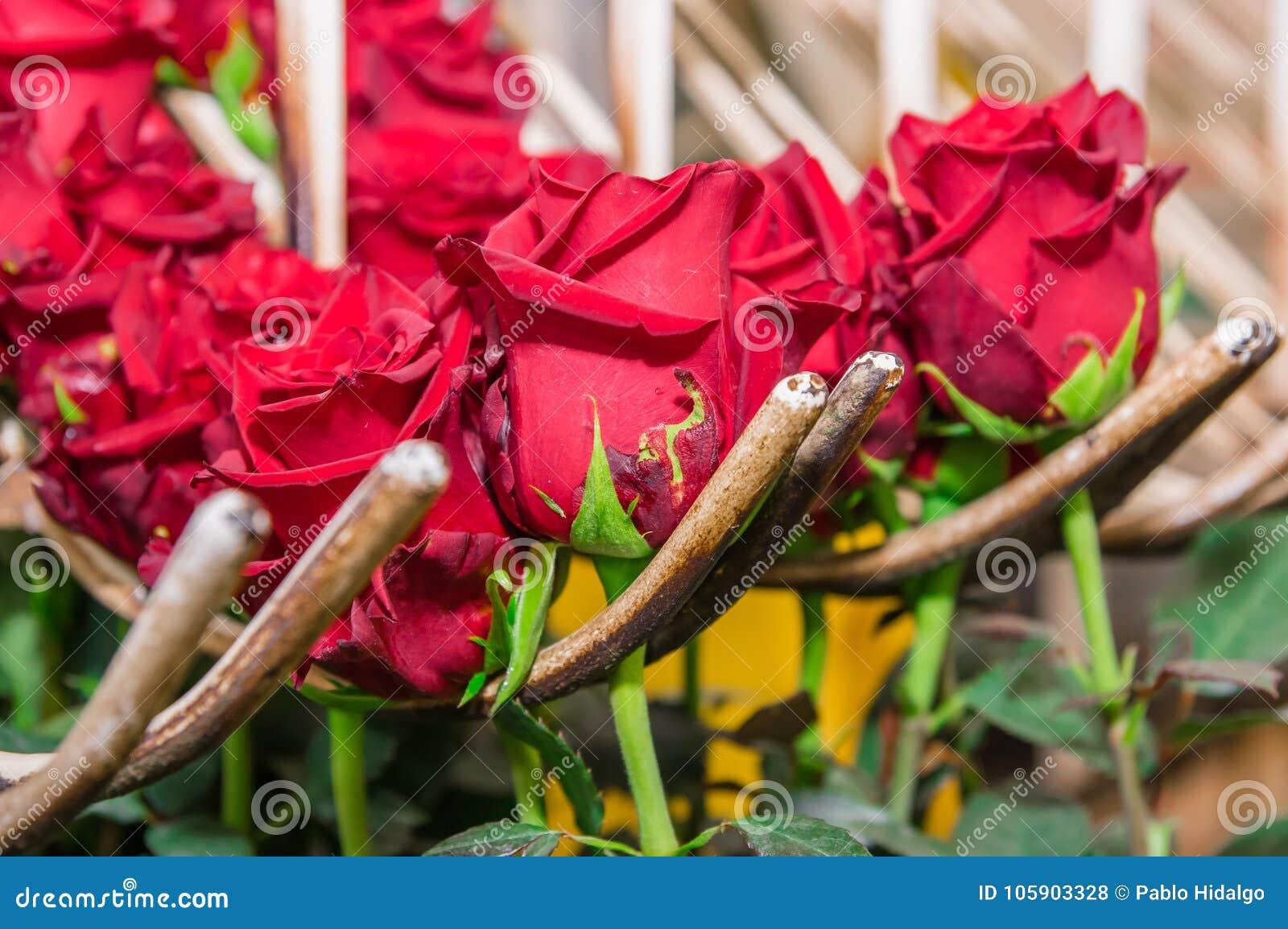 Ciérrese Para Arriba De Las Rosas Rojas Que Cuelgan De Una