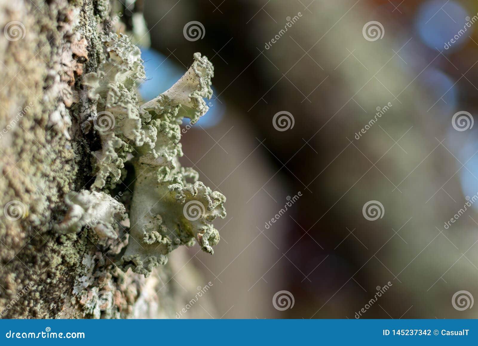 Ciérrese para arriba de liquenes de la árbol-vivienda, creciendo en el remiendo de la corteza, contra un fondo del bokeh, en el