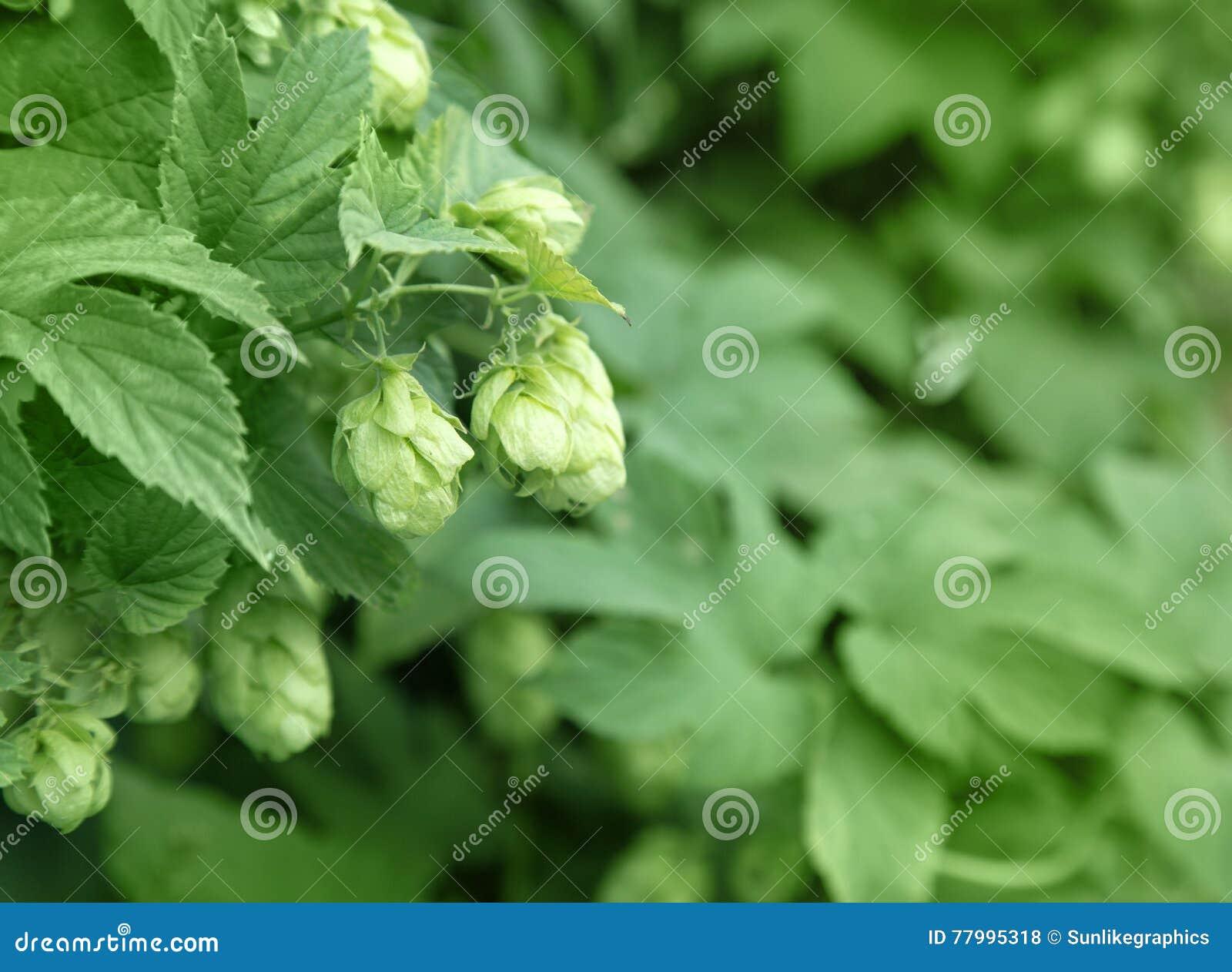 Ciérrese para arriba de los conos de salto maduros verdes Ingrediente de la producción de la cerveza En