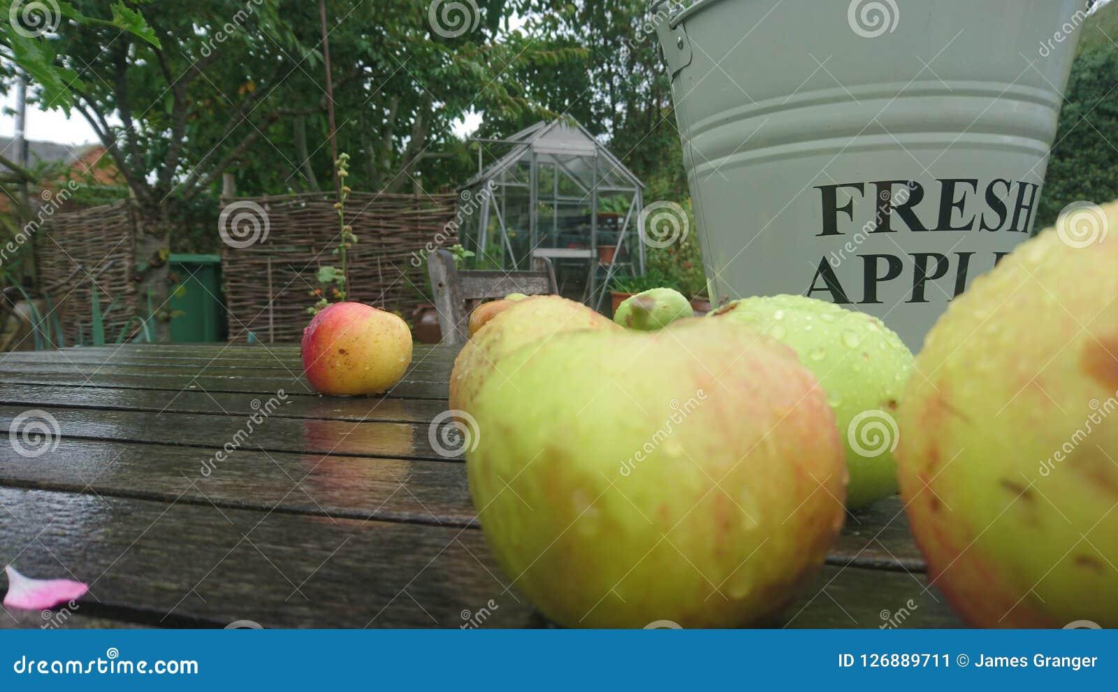 Ciérrese para arriba de manzanas mojadas en un cubo fresco de las manzanas de la tabla del jardín