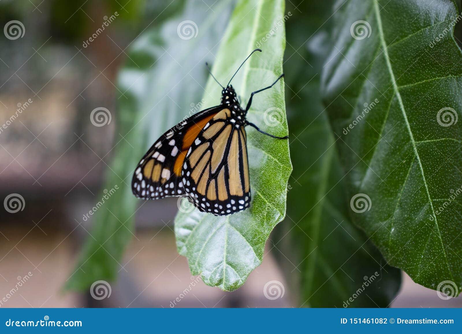 Ciérrese para arriba de mariposa en una hoja