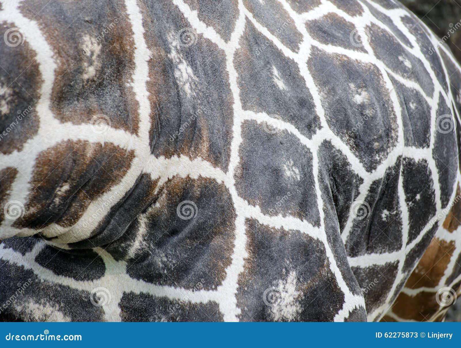 Ciérrese para arriba de puntos de la jirafa