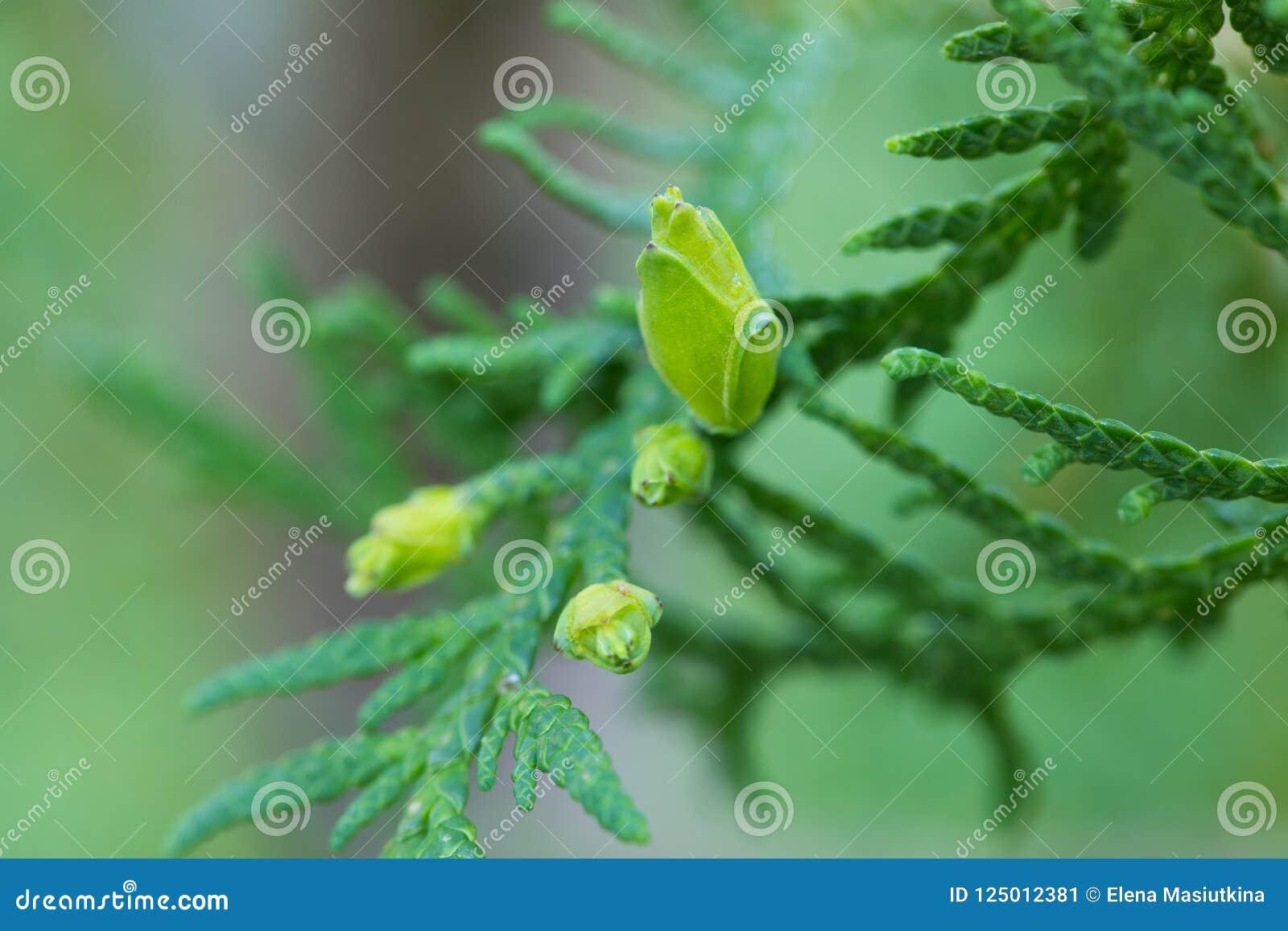 Ciérrese para arriba de semillas del arbusto imperecedero del Thuja joven