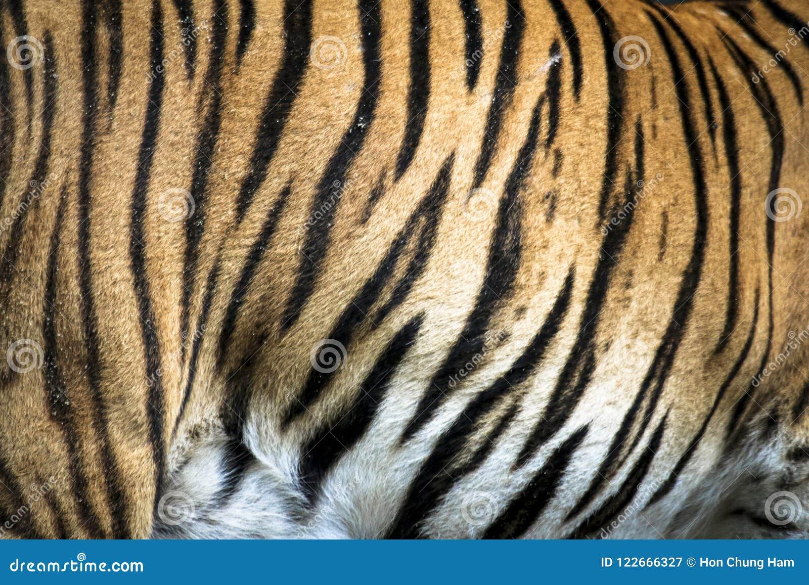 Ciérrese para arriba de tigre malayo salvaje felino grande con la piel hermosa de la raya
