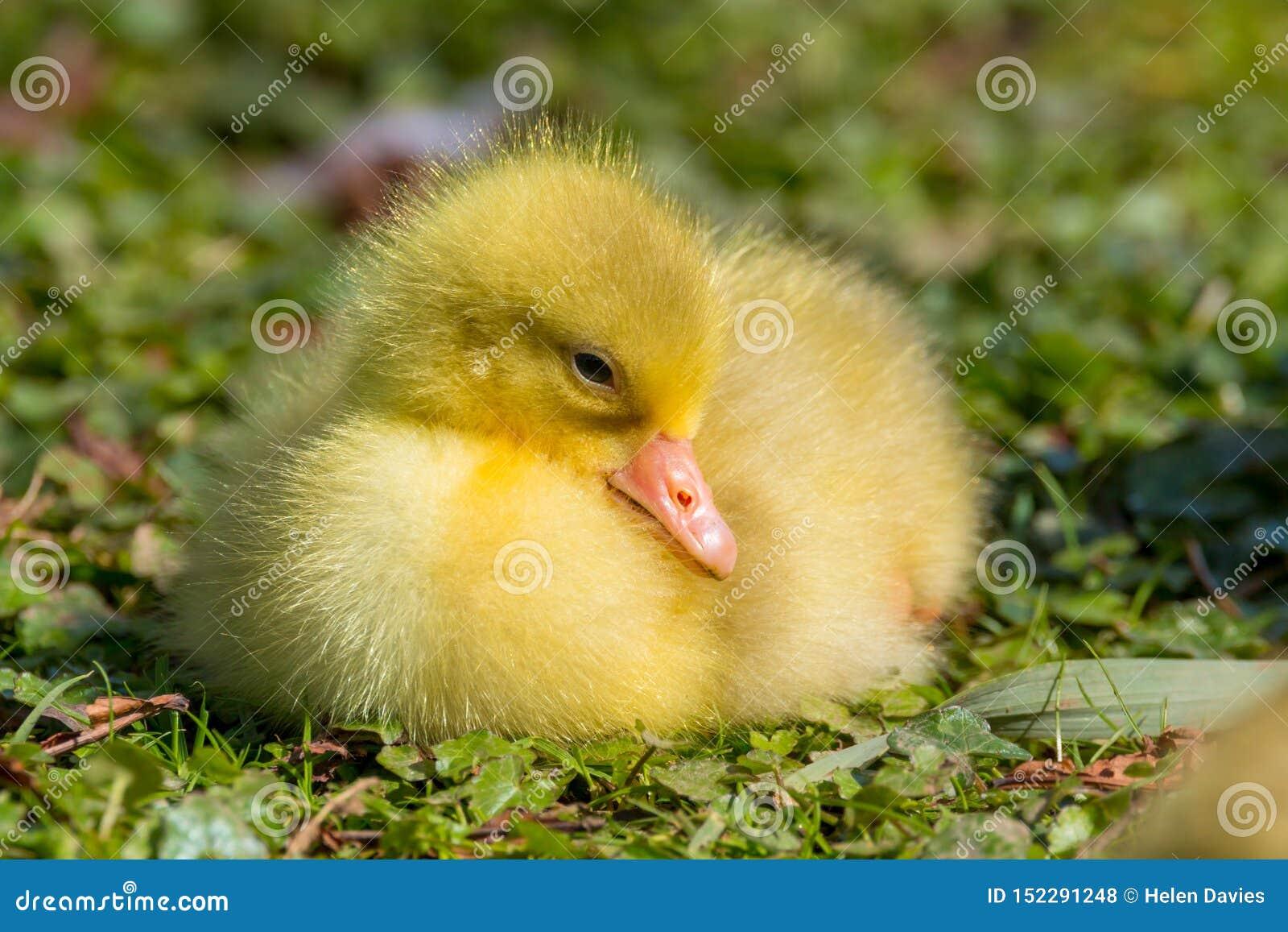 Ciérrese para arriba de un ansarón mullido amarillo hermoso del bebé