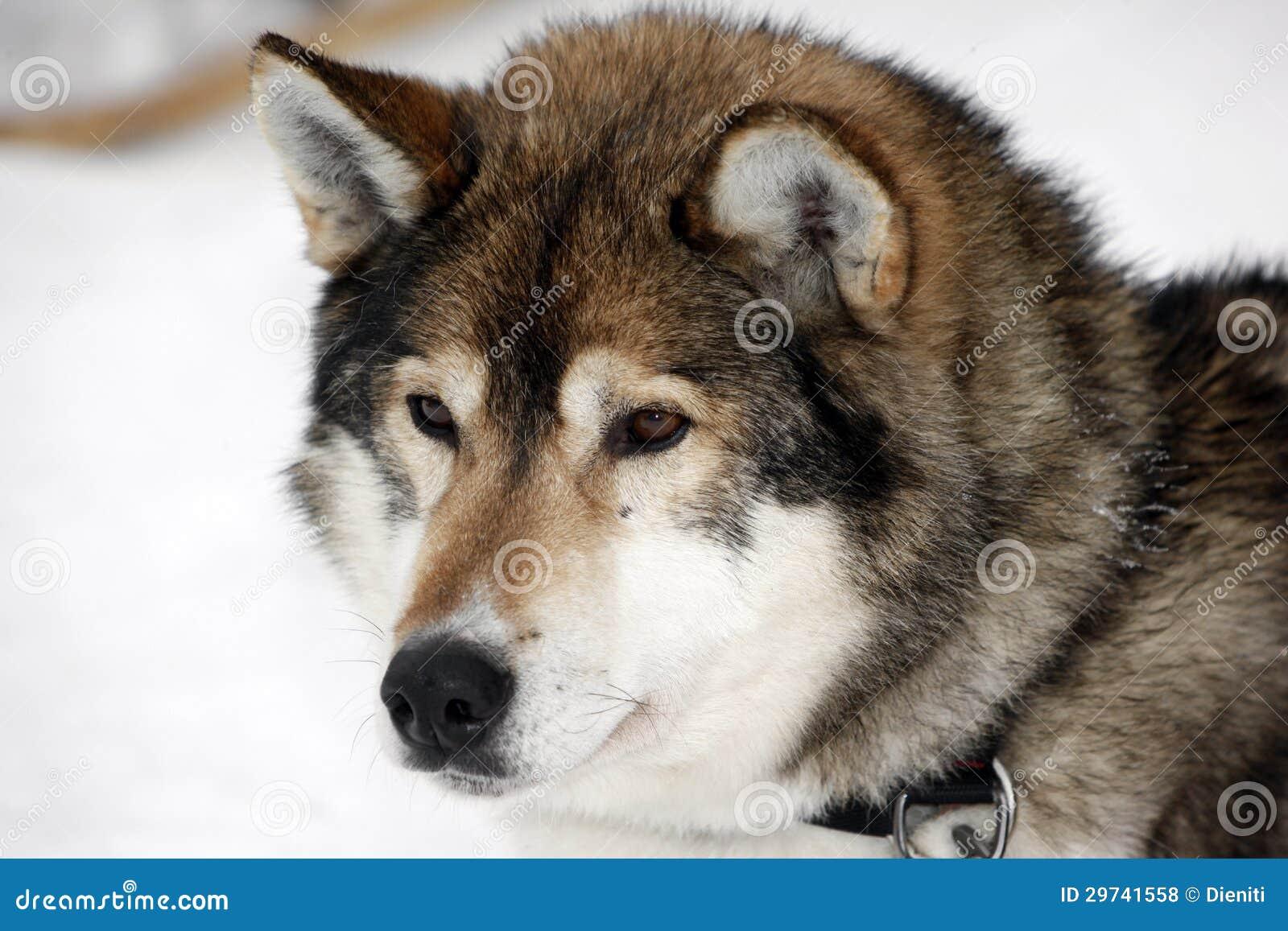 ... de archivo libres de regalías: Retrato de un husky siberiano marrón