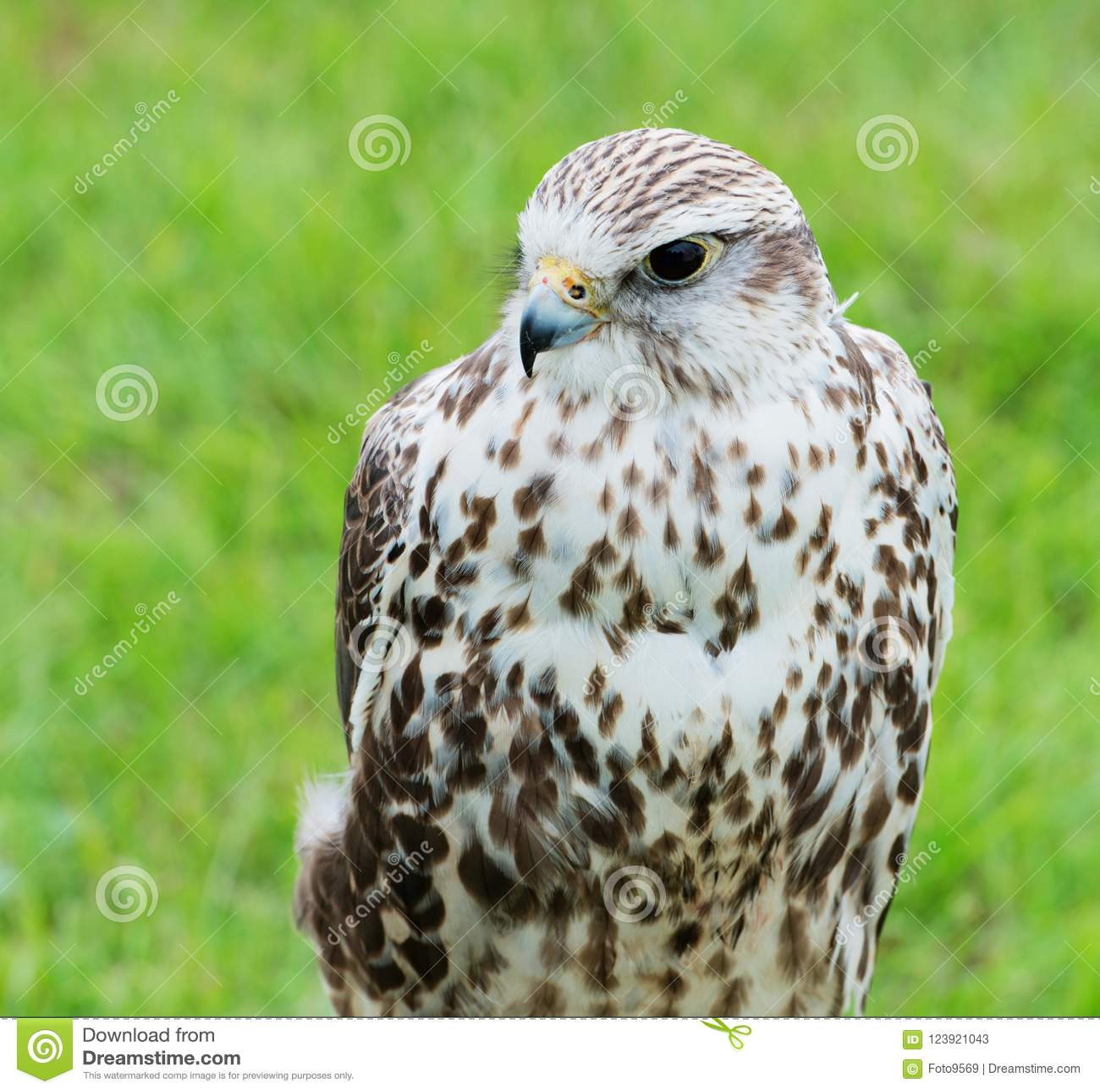 Ciérrese para arriba de un rapaz del halcón de Saker