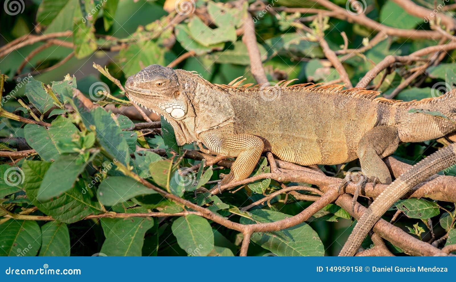 Ciérrese para arriba de una iguana verde enorme es permanente y de reclinación sobre la rama del árbol