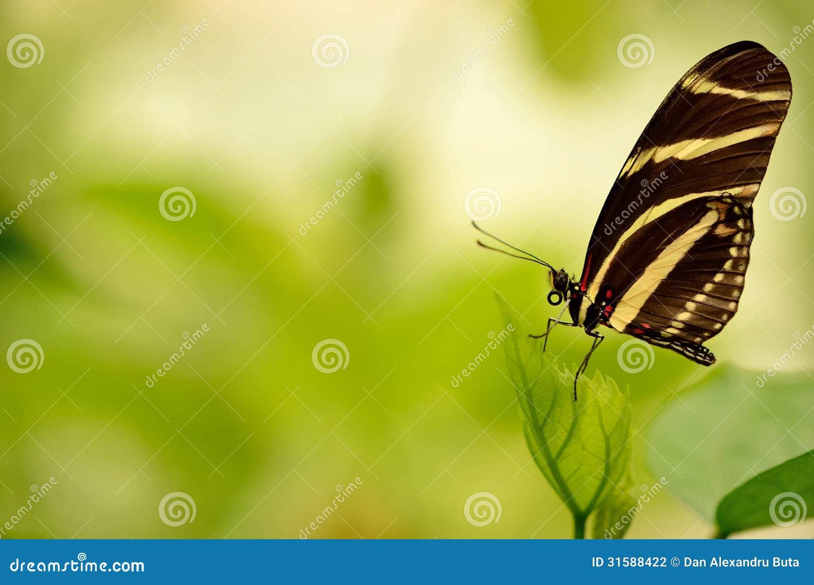Ciérrese para arriba de una mariposa rayada hermosa