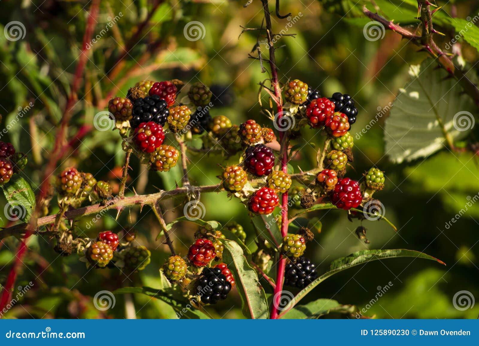 Ciérrese para arriba de zarzamoras en el arbusto