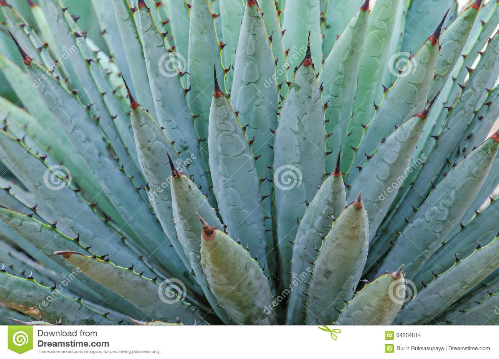 Ciérrese para arriba del agavo nombrado cactus de Harvard