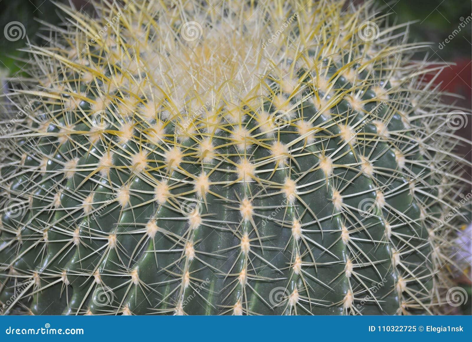 Ciérrese para arriba del cactus de barril de oro