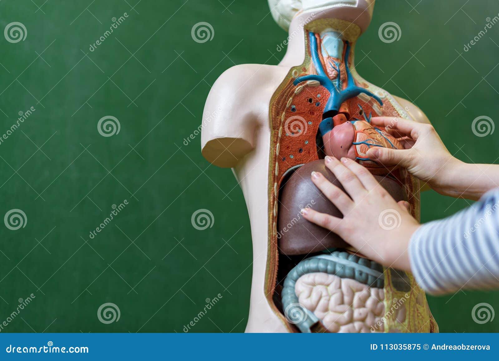 Ciérrese Para Arriba Del Estudiante Que Aprende La Anatomía En Clase ...