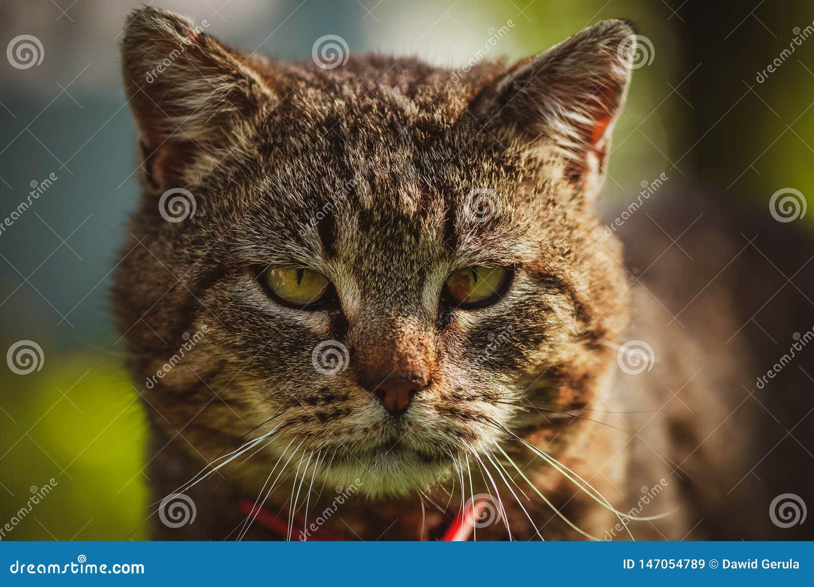 Ciérrese para arriba del frente de la cara del gato nacional