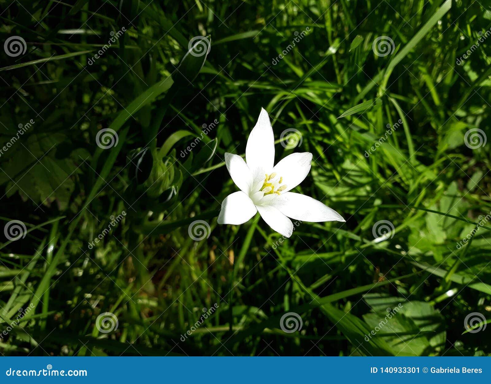 Ciérrese para arriba del lirio blanco de la lluvia, flor de la candida de Zephyranthes