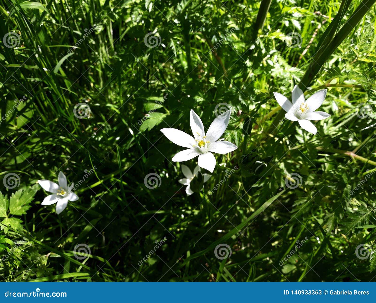 Ciérrese para arriba del lirio blanco de la lluvia, flores de la candida de Zephyranthes
