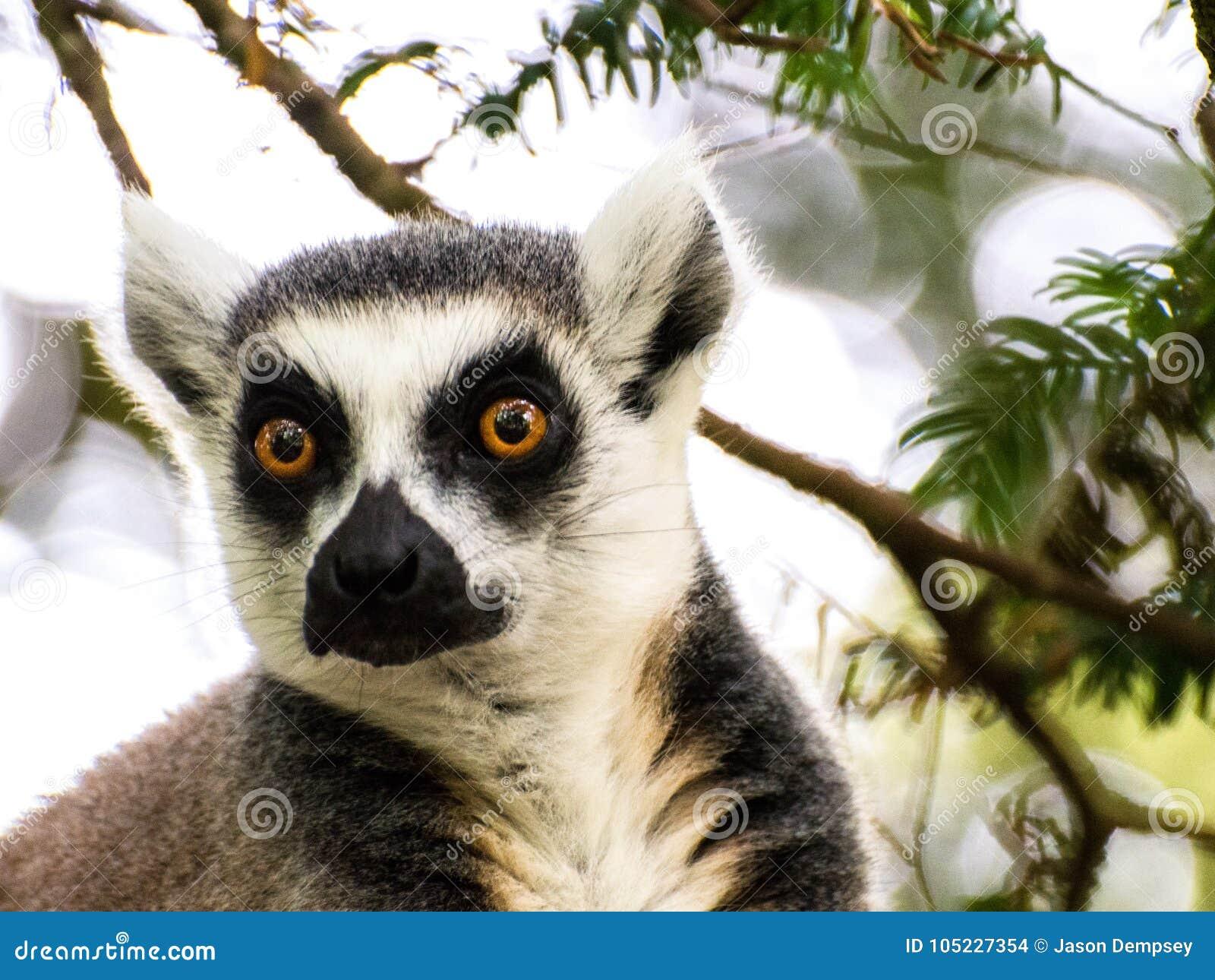 Ciérrese para arriba del mono de Lemar que se sienta en árbol