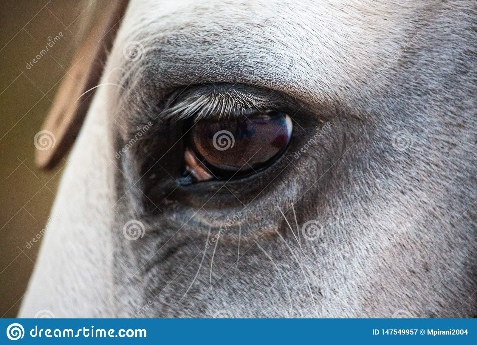 Ciérrese para arriba del ojo de un caballo blanco del semental