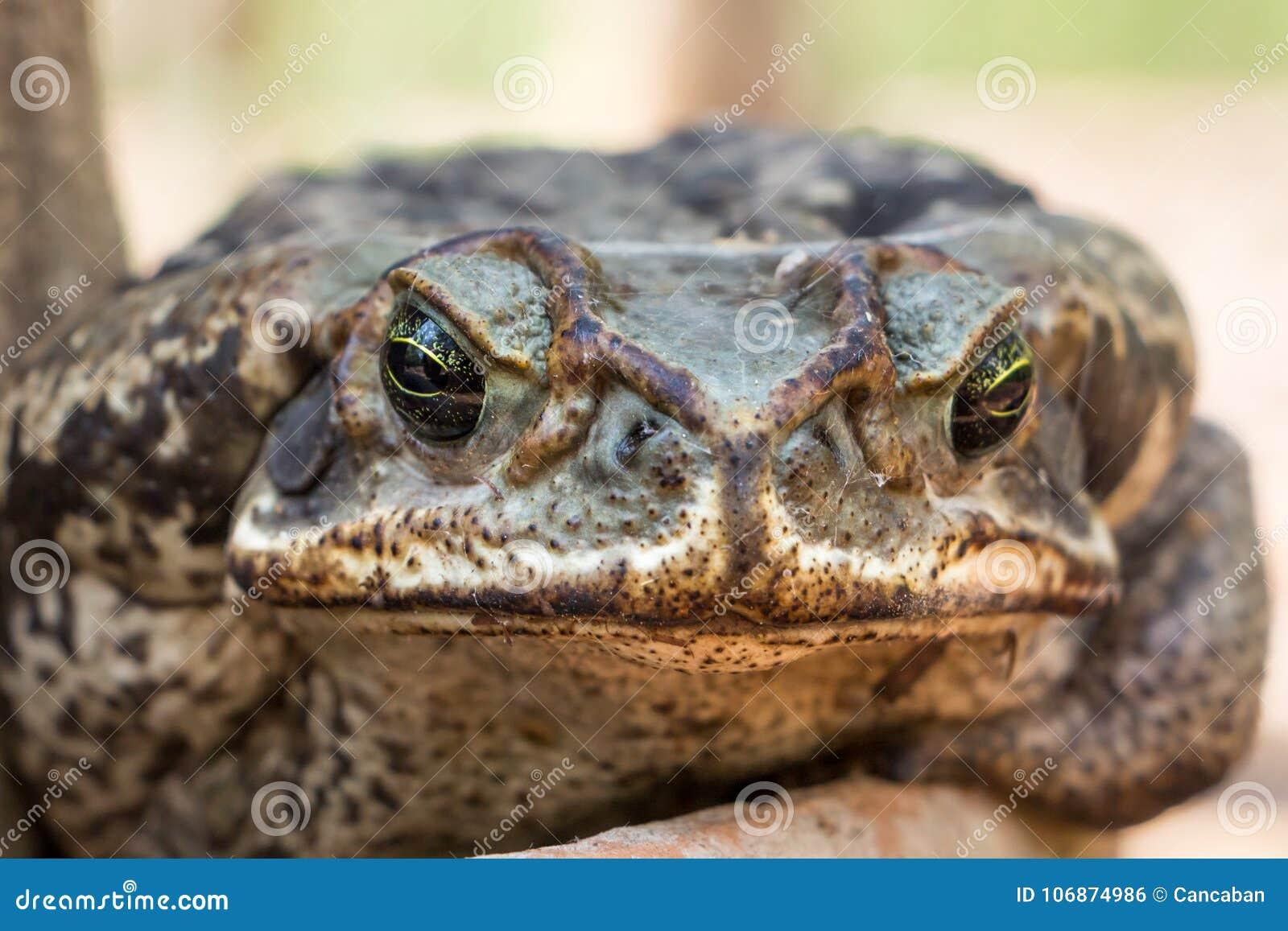 Ciérrese para arriba en el puerto deportivo sapo aka de Cane Toad de Rhinella o de Cururu