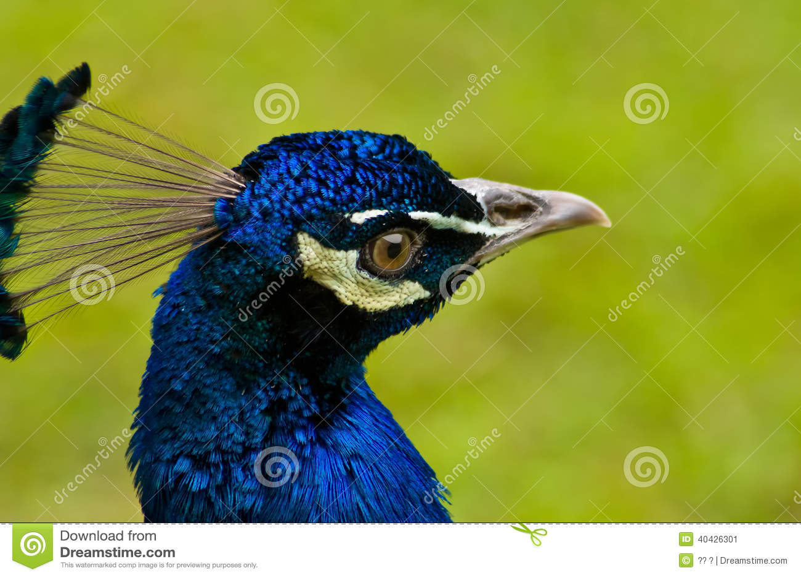 Ciérrese para arriba en la cabeza hermosa del pavo real