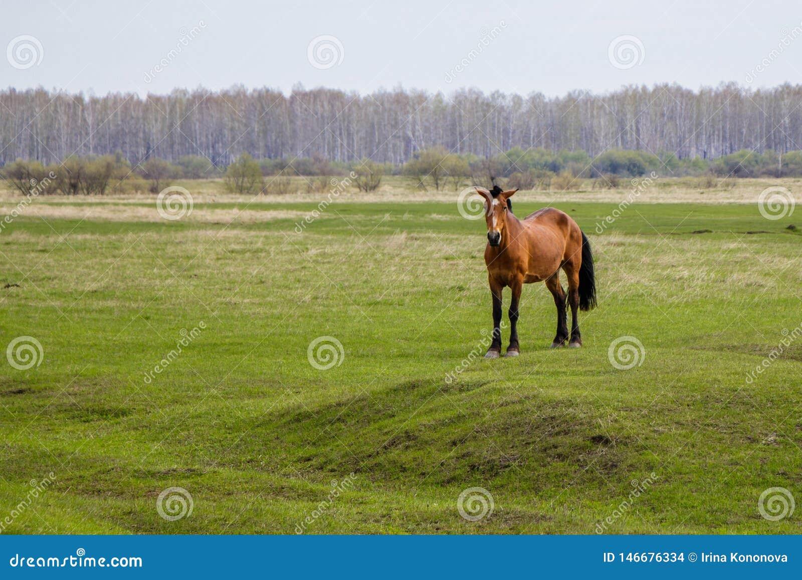 Ciężarny koń patrzeje kamerę w paśniku