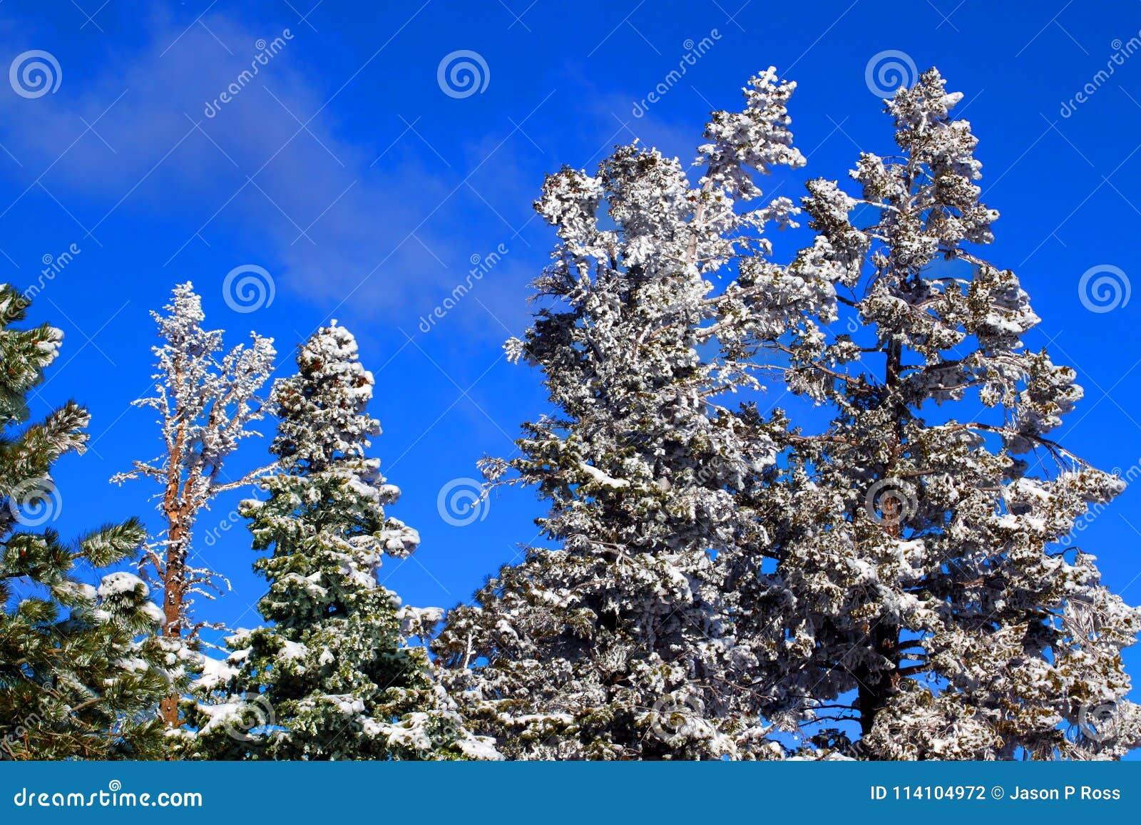Ciężki opad śniegu w Sosnowym lesie