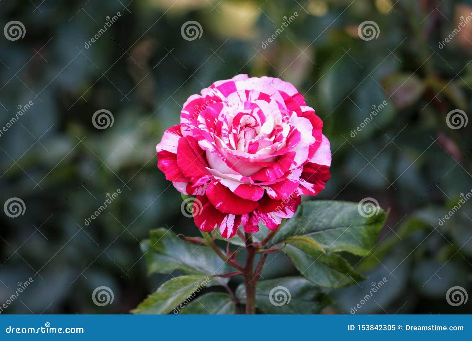 Ci?rrese encima de Rose