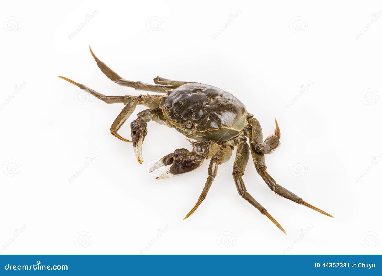 Ciano granchio peloso vivente