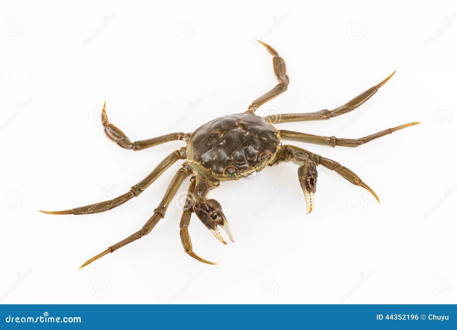 Ciano granchio vivente