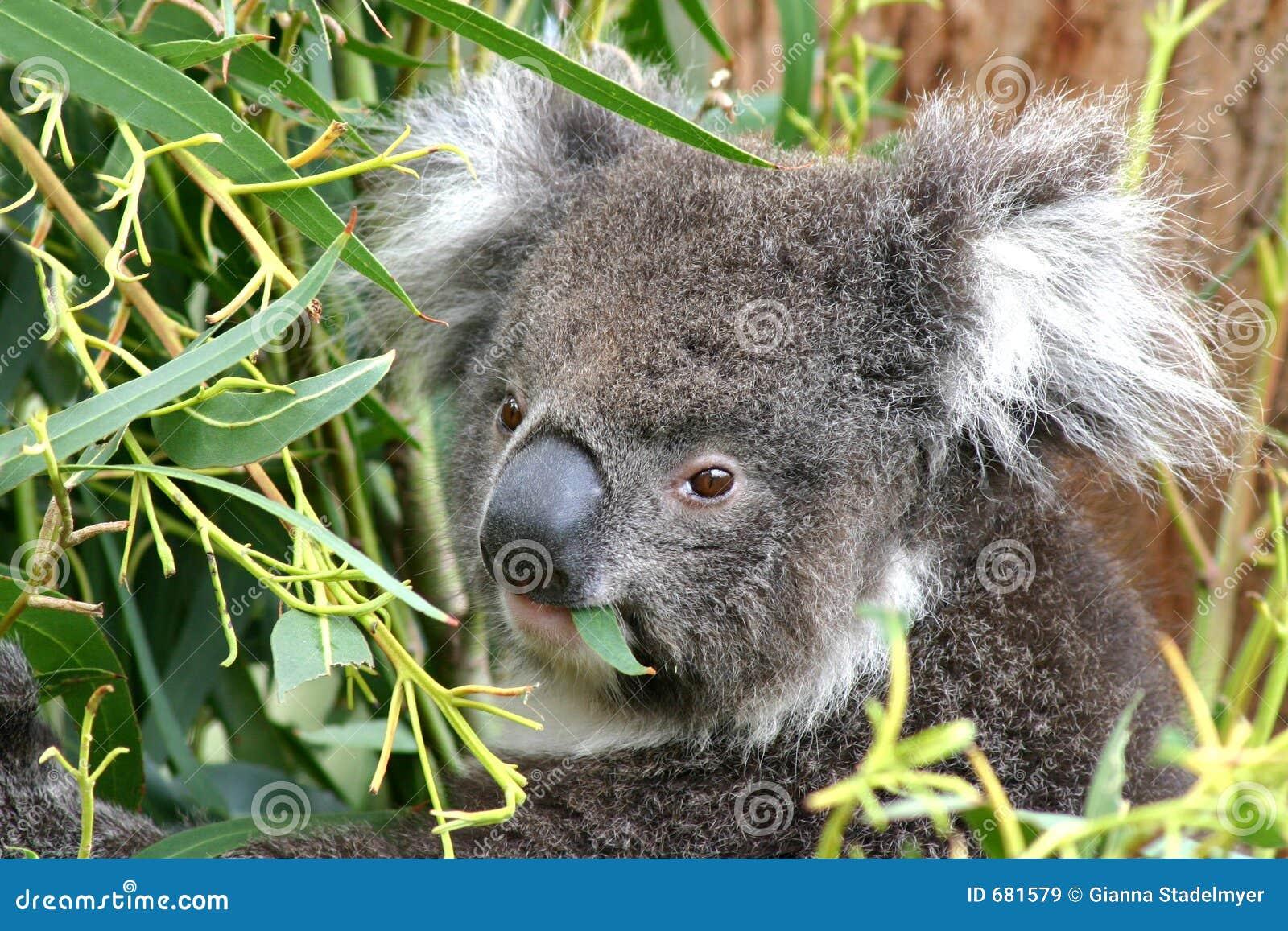 Cibo del Koala