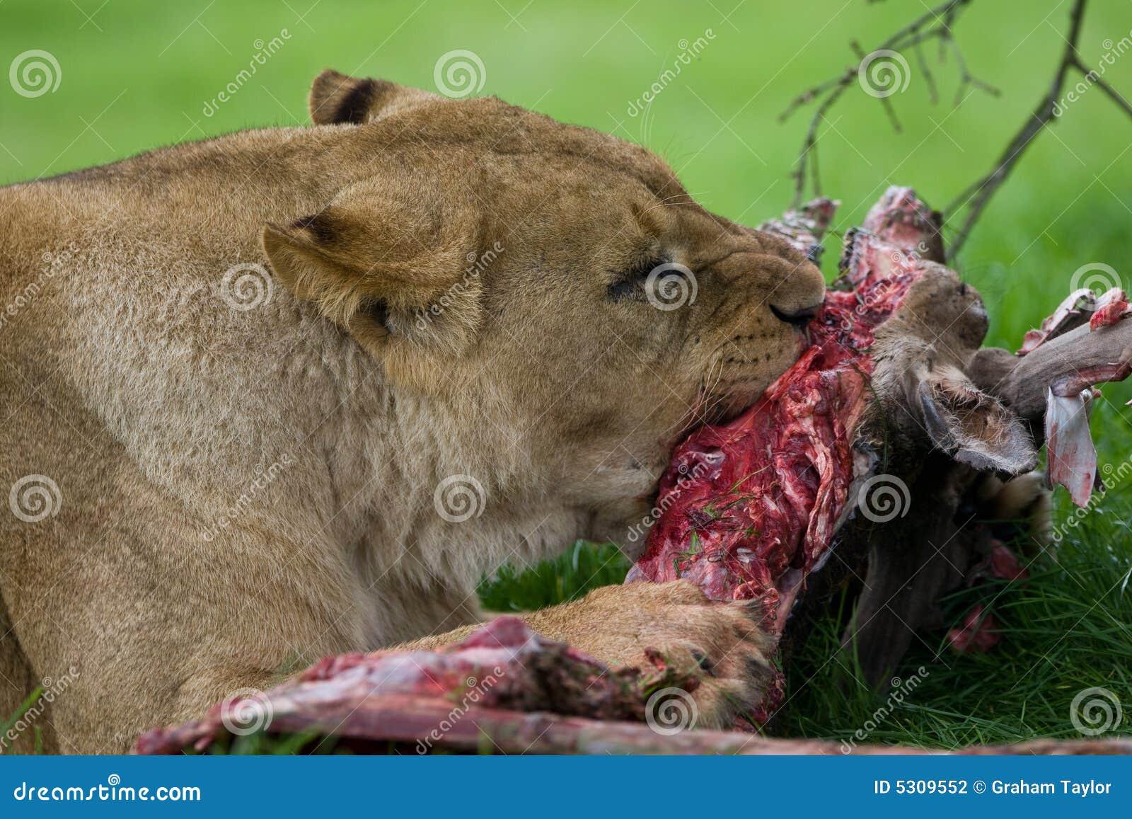 Download Cibo del leone fotografia stock. Immagine di rottura, alfa - 5309552