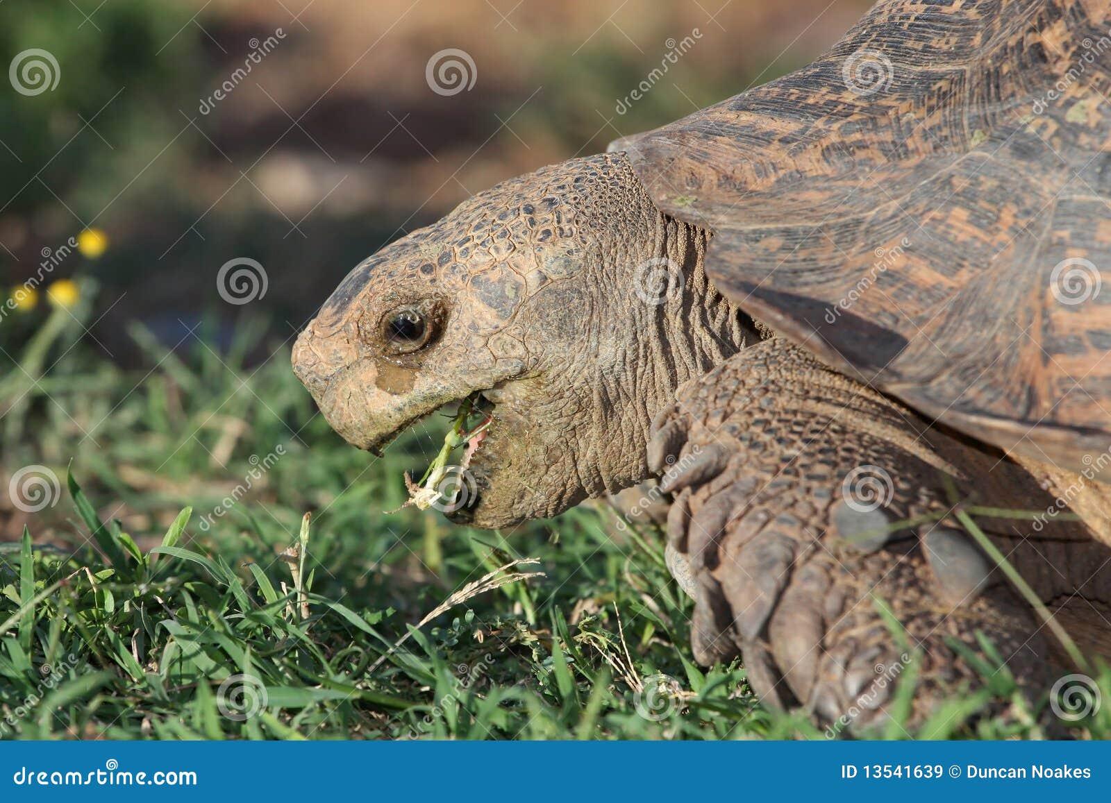 Cibo del Tortoise del leopardo