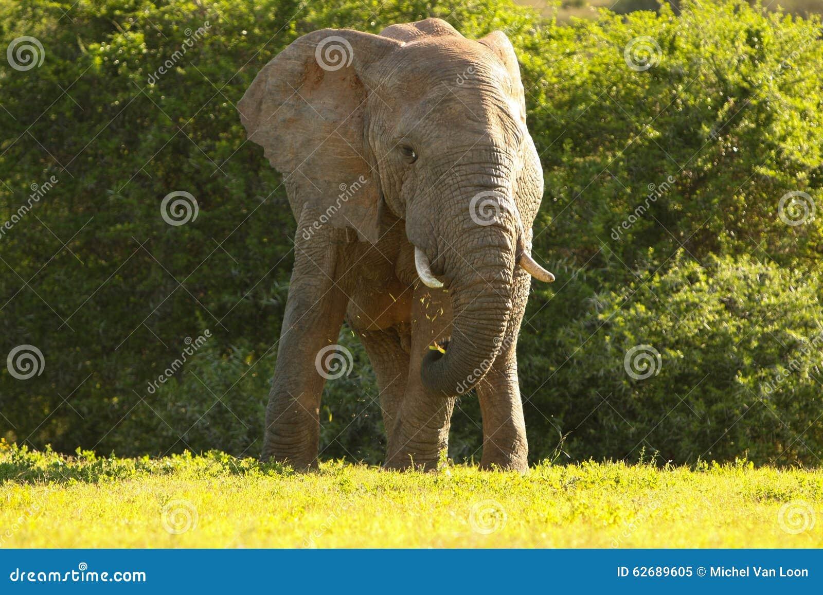 Cibo dell 39 elefante immagine stock immagine di mangi - Elefante foglio di colore dell elefante ...