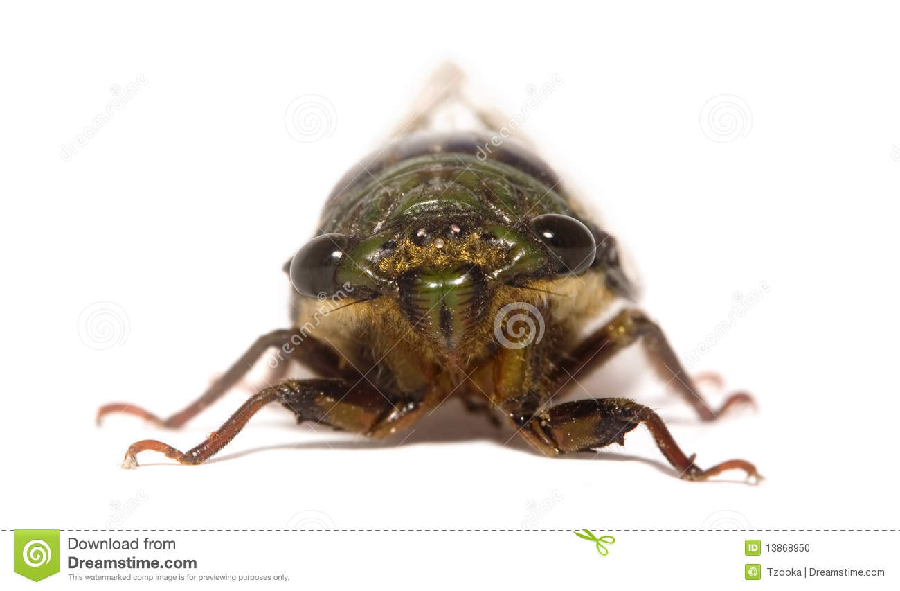 Download Cicada stock photo. Image of cicadoidea, face, insects - 13868950