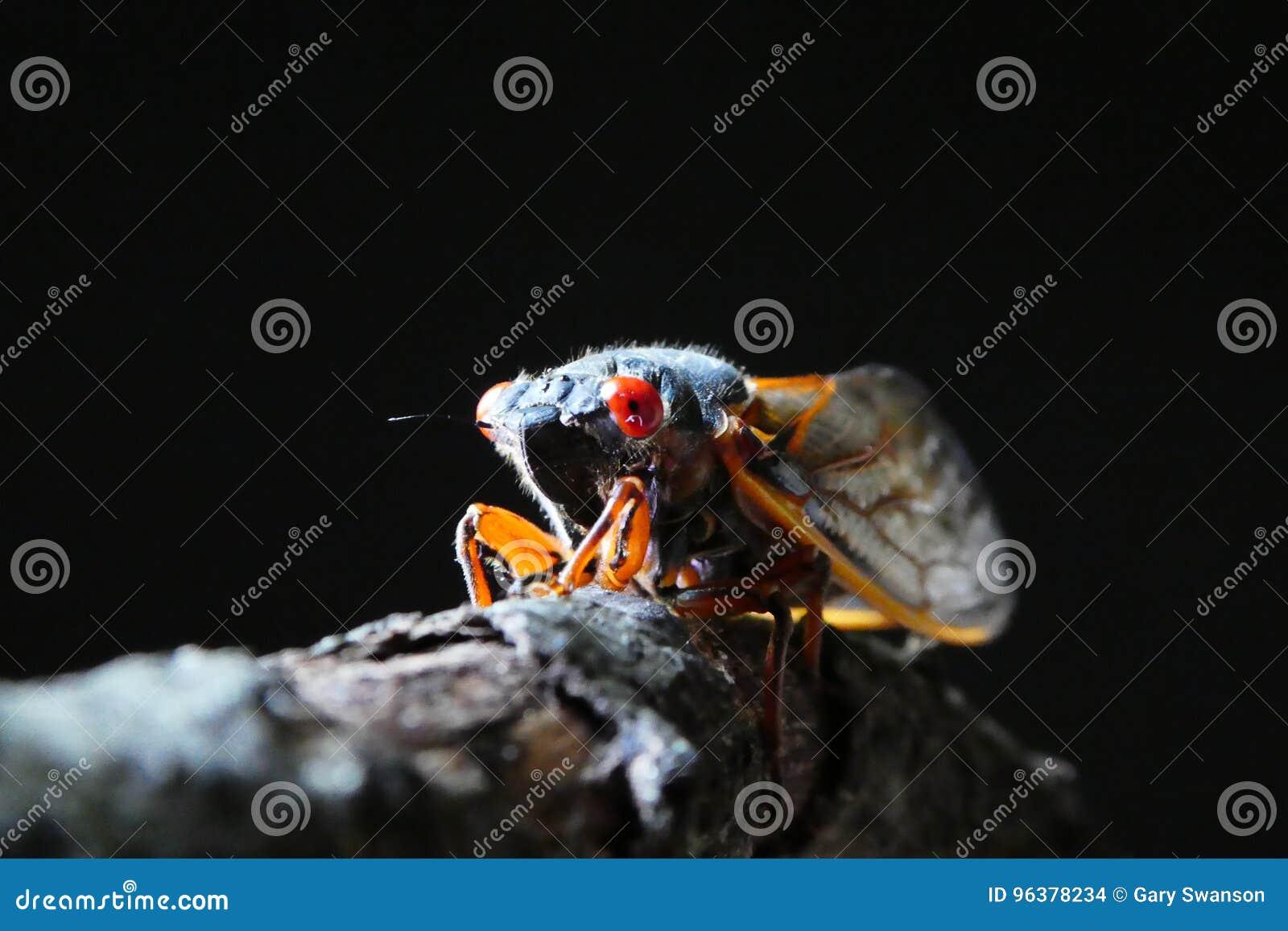 Cicada on branch