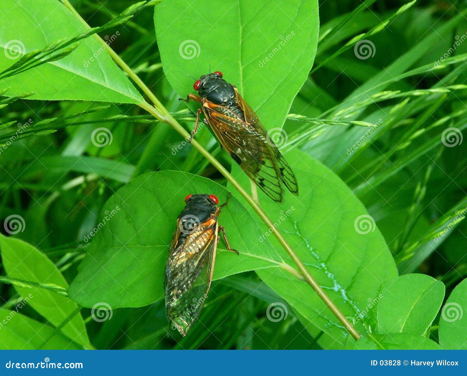 Cicadas A