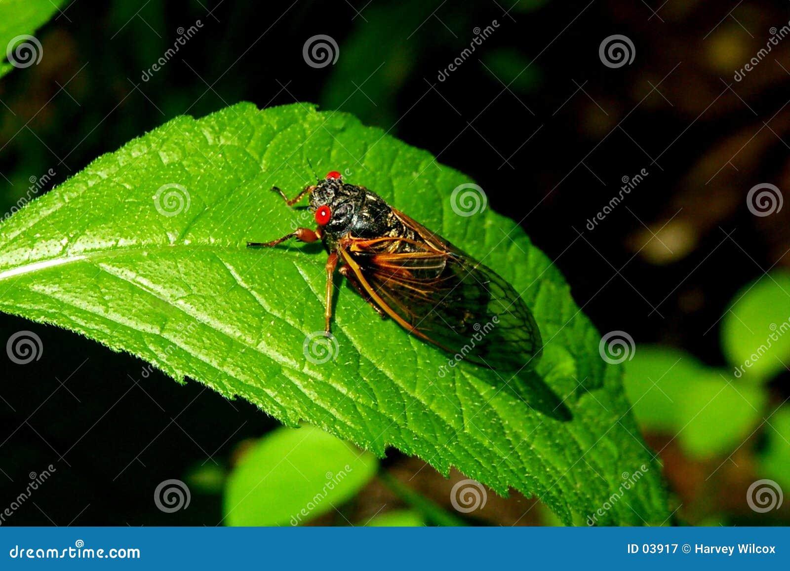 Cicadas B