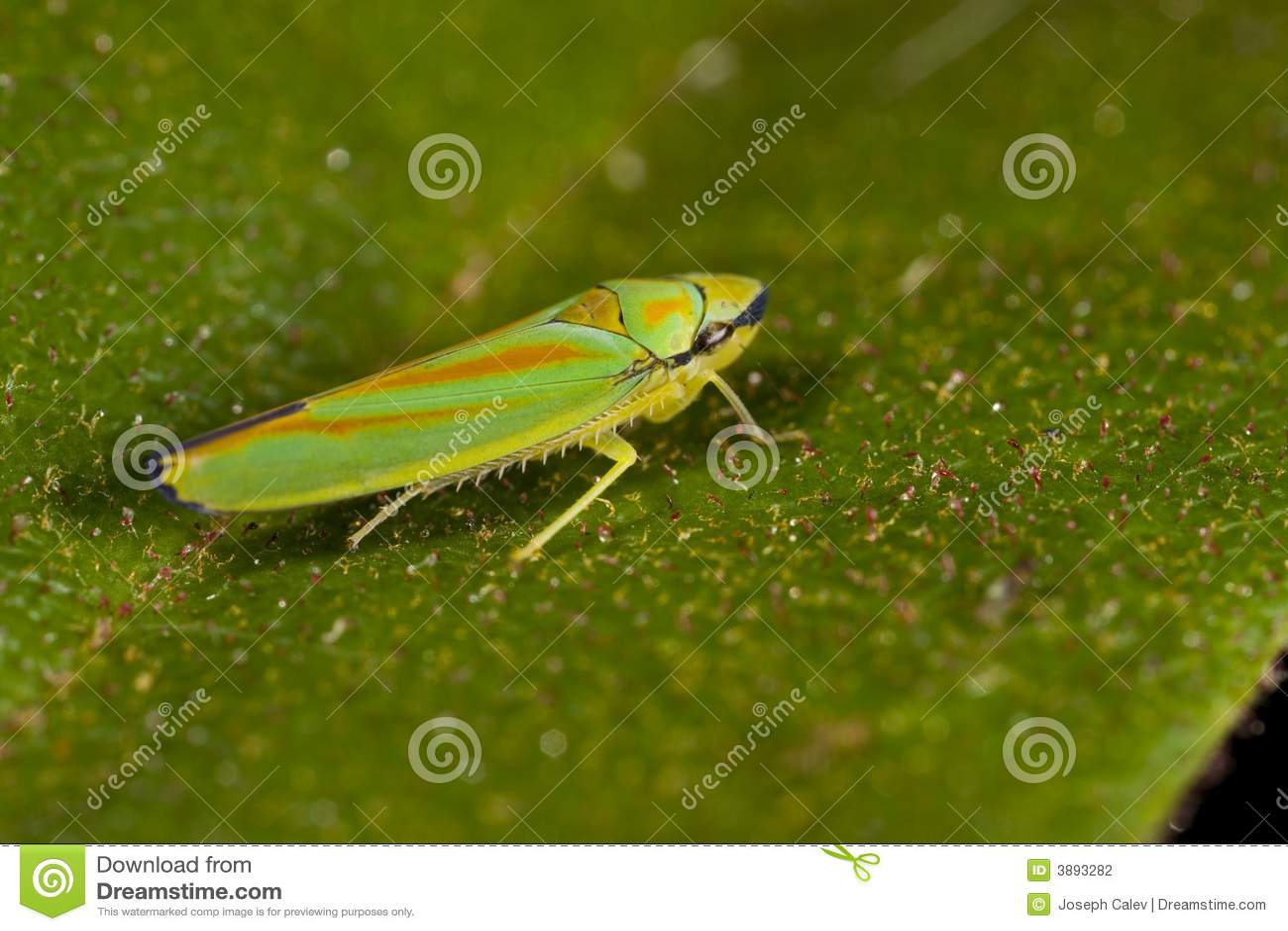 Cicadellide