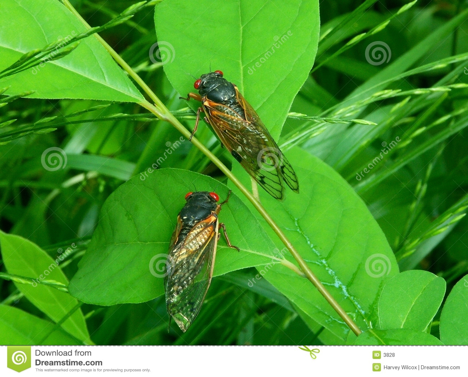 Cicaden A