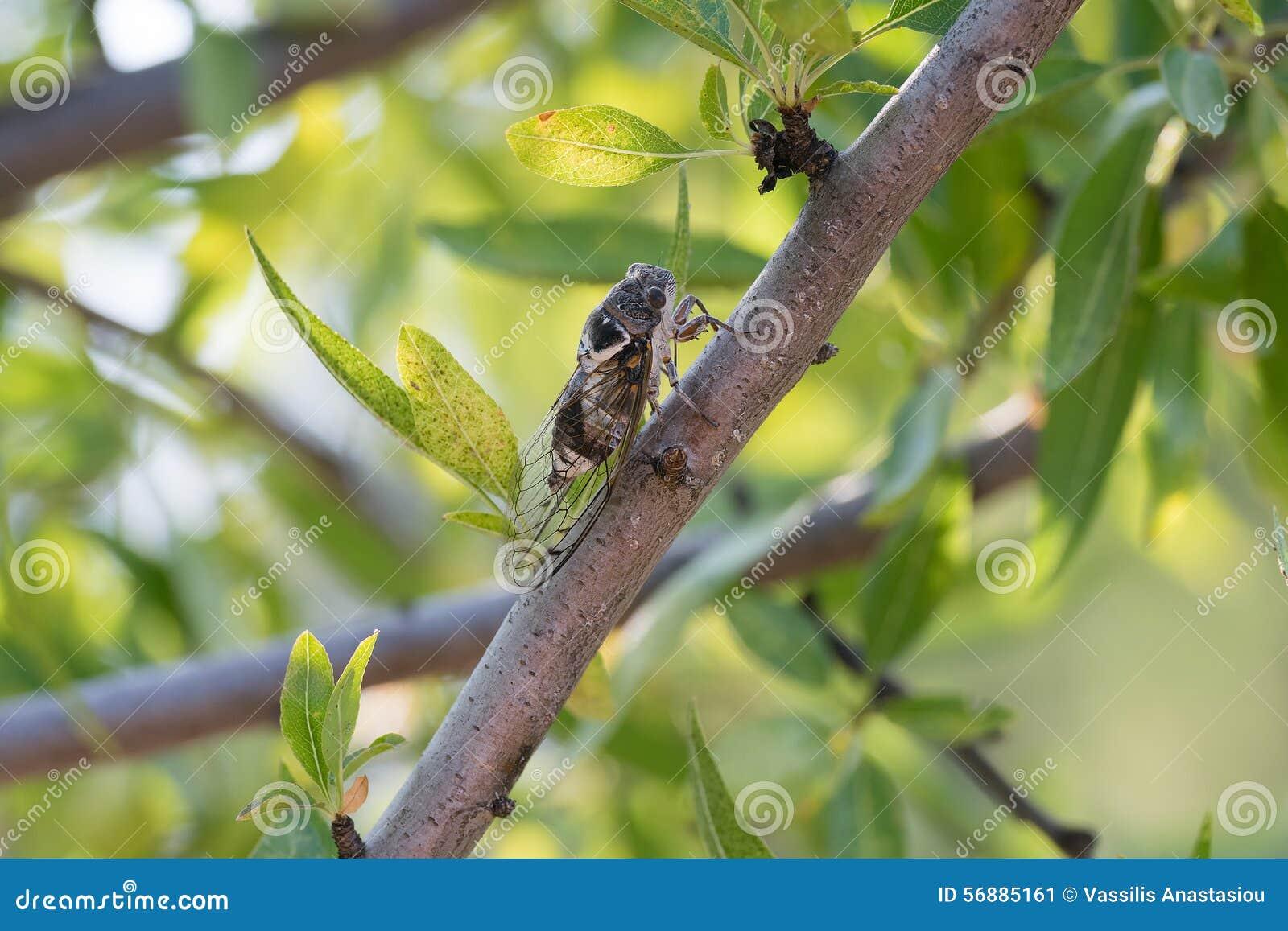 Cicala su un albero Uno sguardo del primo piano
