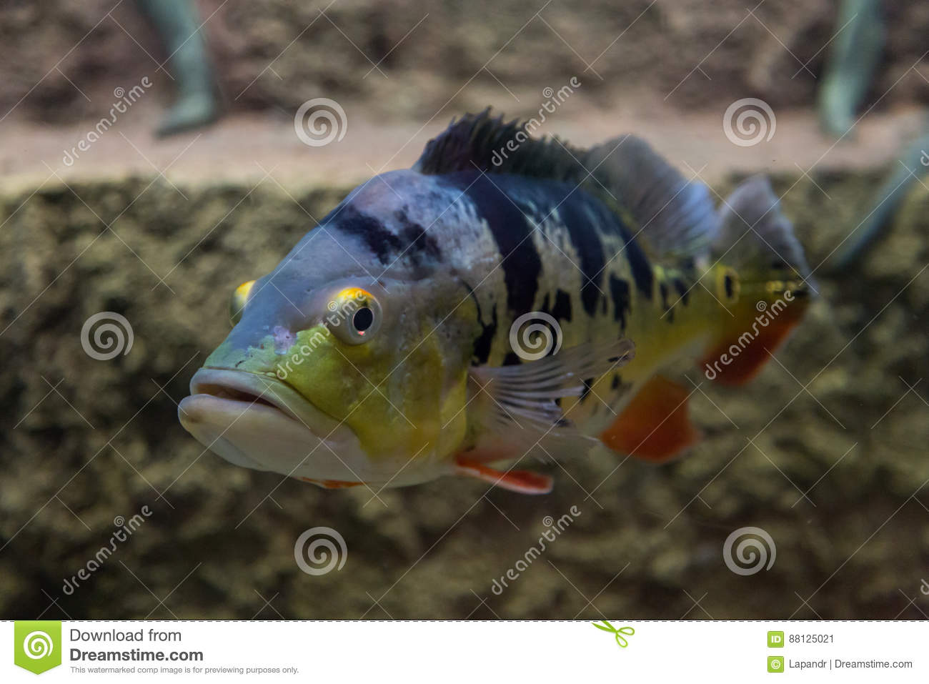 Peacock bass vector illustration stock illustration for Bass fish tank