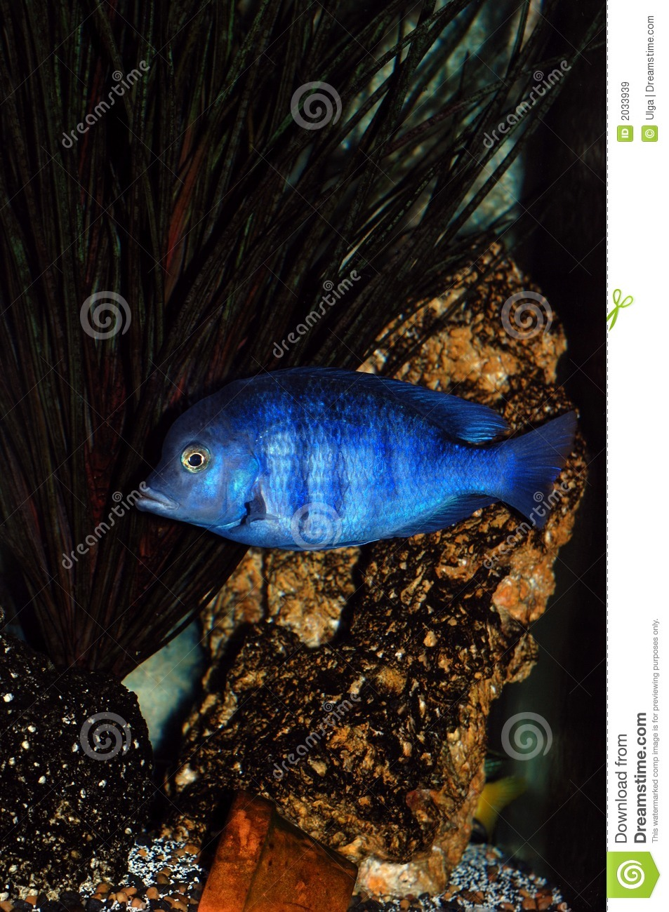 Cichlid fish in aquarium stock image image of african for Freshwater dolphin fish