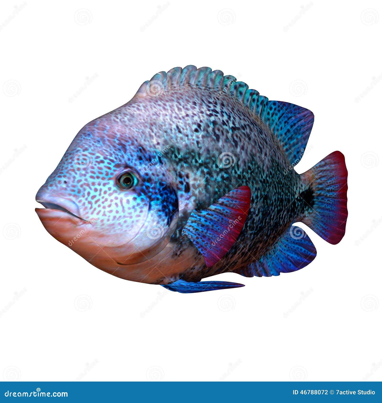 Cichlid fish stock illustration. Illustration of living - 46788072