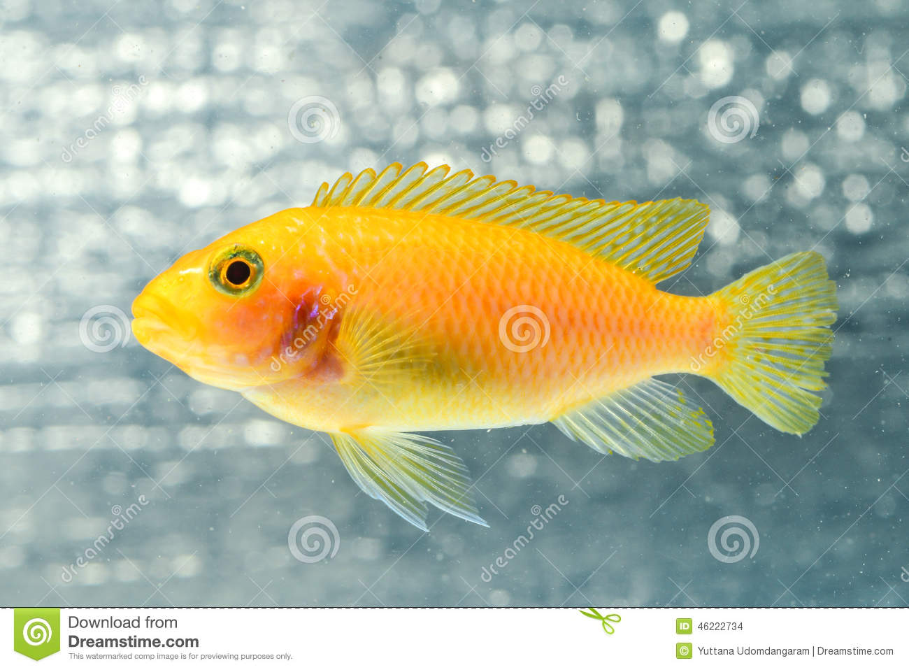 Cichlid fish stock photo image 46222734 for Tilapia swimming