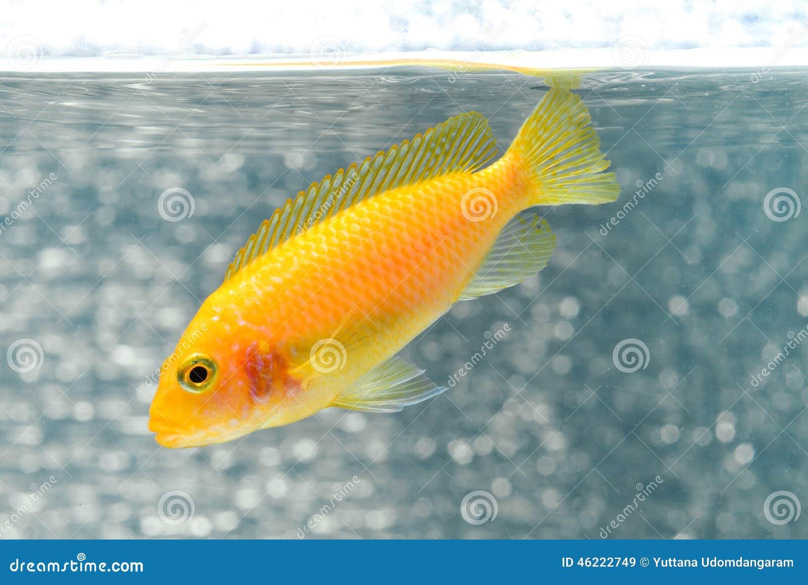 Cichlid fish stock photo image 46222749 for Cichlid fish food