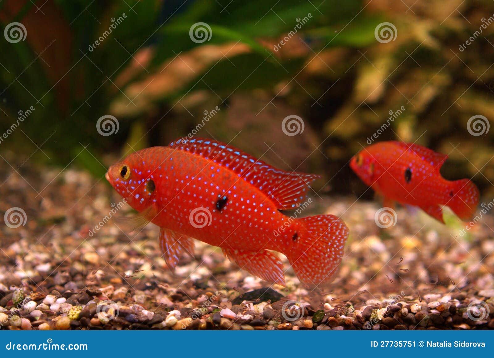 Cichlid im Aquarium
